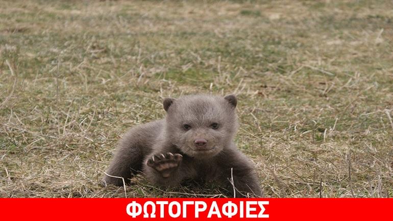 Άφησαν ορφανό μικρό αρκουδάκι για να... πουλήσουν τη μητέρα του στην Αλβανία