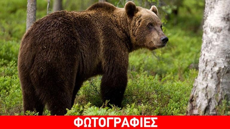 Αρκούδα εγκλωβίστηκε σε παγίδα στην Κοζάνη