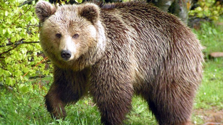 Αρκτούρος: Αυξάνεται ο πληθυσμός των αρκούδων στην Ελλάδα