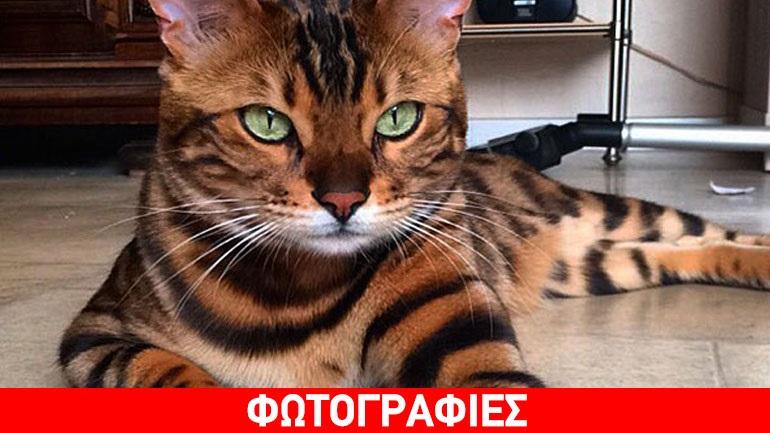 Γάτα μοιάζει με τίγρη!