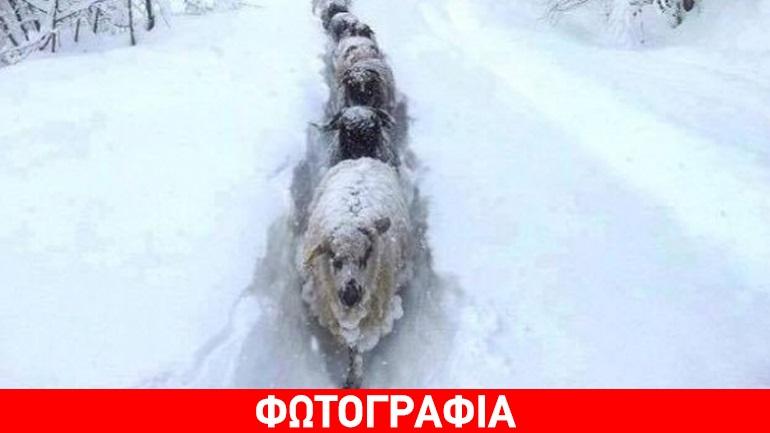 Κρήτη: Το απίθανο μονοπάτι που δημιούργησαν τα πρόβατα στο χιόνι