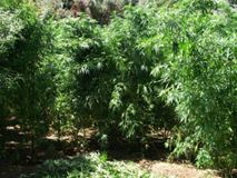 Τρίκαλα: Ανακάλυψαν «δάσος» με δενδρύλλια κάνναβης