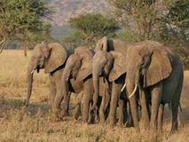Aπειλούνται με εξαφάνιση οι ελέφαντες της Αφρικής