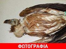 Ιωάννινα: Ασυνείδητοι πυροβόλησαν και σκότωσαν προστατευόμενο είδος γύπα στην Ολύτσικα