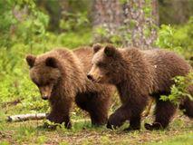 Έξι αρκούδες στο μικροσκόπιο δορυφόρου