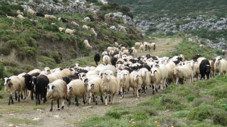 Μυτιλήνη: Σε απόγνωση οι κτηνοτρόφοι του νησιού, για τη ζωονόσο της ευλογιάς