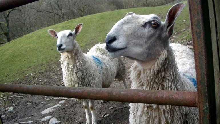 Έρευνα: Τα πρόβατα αναγνωρίζουν πρόσωπα