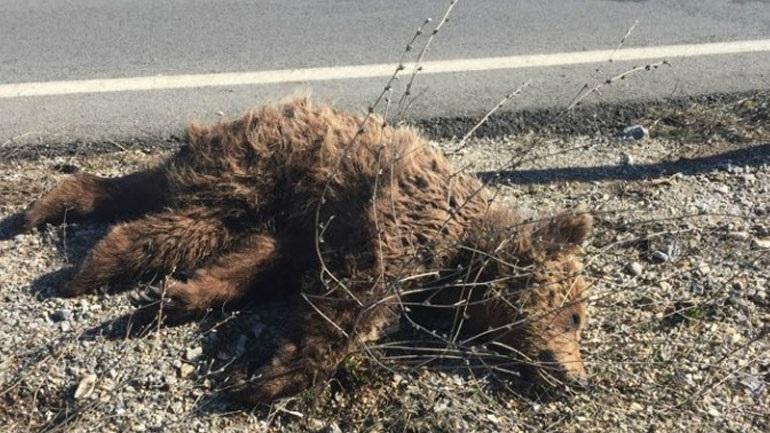 Κοζάνη: Νεκρό αρκουδάκι στην εθνική