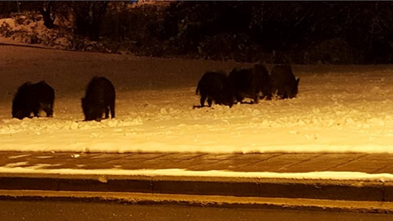 Thessaloniki: A wild boar from a wild boar visited the night in a snow panorama