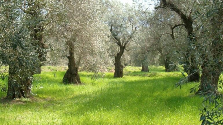 Μειωμένη κατά 50% προβλέπεται ότι θα είναι η παραγωγή ελληνικού ελαιολάδου