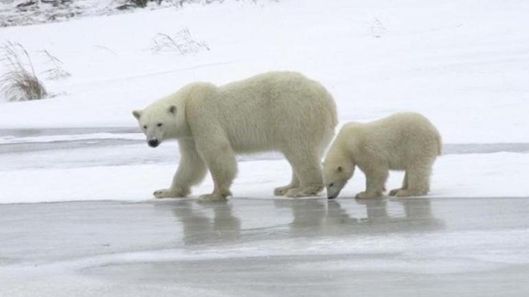 Ρωσία: «Εισβολή» από πεινασμένες πολικές αρκούδες δέχθηκε ένα χωριό 500 κατοίκων