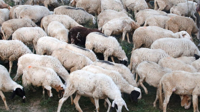 Βρετανία: Κτηνοτρόφος καταδικάσθηκε σε πρόστιμο γιατί χτυπούσε τα πρόβατά του με γροθιές στο κεφάλι