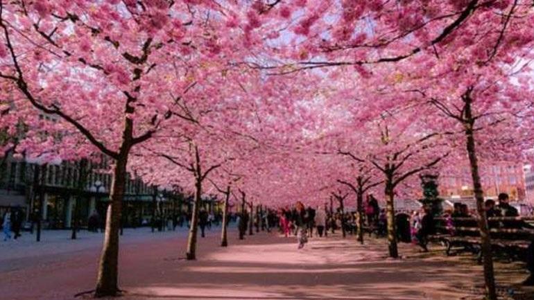 Τόκιο: «Όχι» στα πικ νικ κάτω από ανθισμένες κερασιές λόγω κορωνοϊού