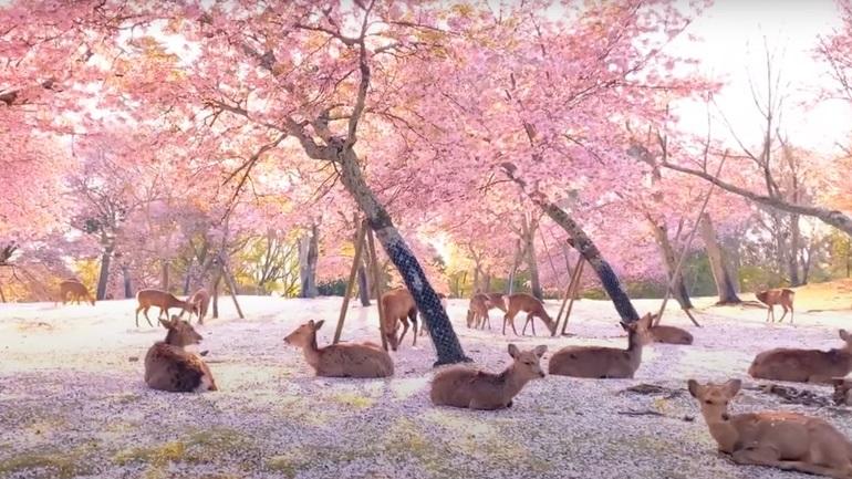 Eλάφια αράζουν κάτω από κερασιές