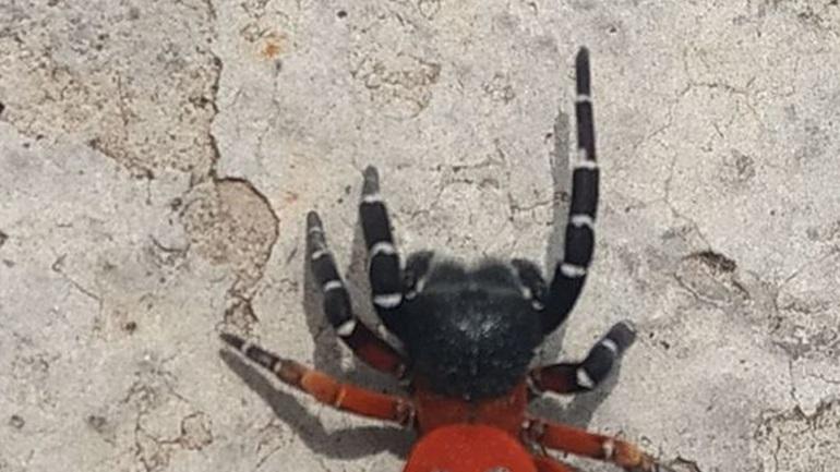 Σπάνιο είδος αράχνης εντοπίστηκε στη Λαμία
