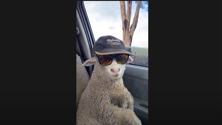 Aυτό το... πρόβατο είναι η επιτομή του Thug Life