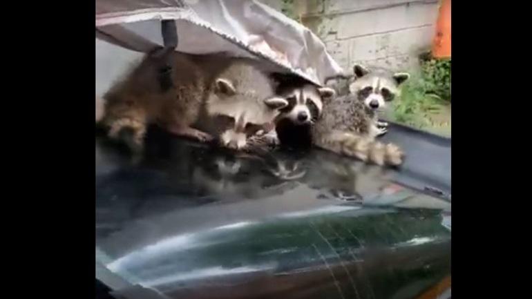Ρακούν φώλιασαν κάτω από κουκούλα αυτοκινήτου για να αποφύγουν το χαλάζι