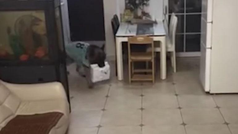 Σκύλος παραλαμβάνει ένα δέμα όταν το αφεντικό του λείπει