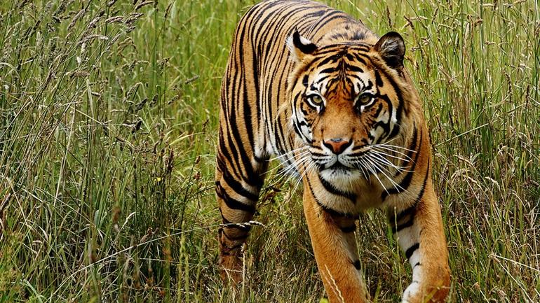 Γερμανία: Η WWF και οι ζωολογικοί κήποι θέλουν να απαγορεύσουν το εμπόριο τίγρεων