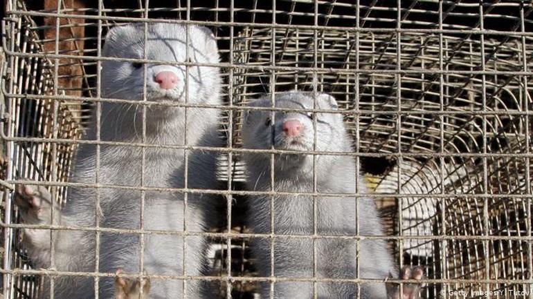 Αυξημένος κίνδυνος μεταδόσεων Covid-19 σε εκτροφεία βιζόν και μεταξύ ανθρώπου και ζώου