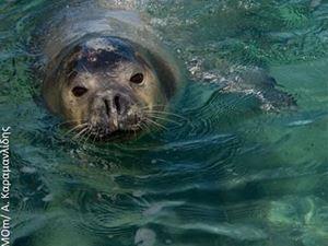Η μεσογειακή φώκια επιστρέφει στις ακτές του Αργοσαρωνικού!