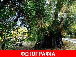 Ανάδειξη υπεραιωνόβιου ελαιόδεντρου στην Κέρκυρα