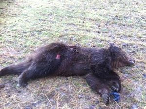 Η πρώτη αρκούδα θύμα τροχαίου για το 2015