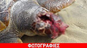 Κατακρεουργημένη θαλάσσια χελώνα σε παραλία της Νάξου