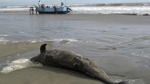 Νεκρά δελφίνια συνεχίζουν να ξεβράζονται στις ακτές του Κόλπου του Μεξικό