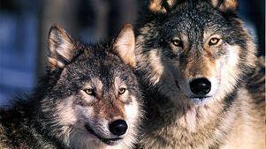 Οι λύκοι έχουν περισσότερες από 2.000 διαφορετικές «διαλέκτους»