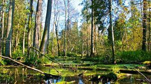 Μπήκε τσεκούρι στο αρχαιότερο δάσος της Ευρώπης