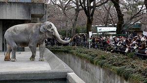 Πέθανε σε ηλικία 69 ετών ο πιο αγαπητός ελέφαντας στην Ιαπωνία
