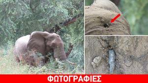 Ζιμπάμπουε: Το σημάδι του λαθροθήρα - Τυχερός ελέφαντας γλίτωσε τον θάνατο για πέντε εκατοστά
