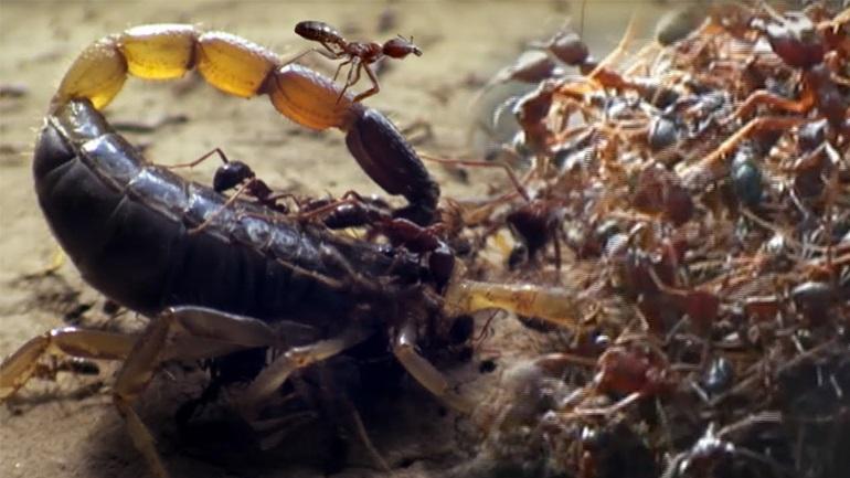 Μυρμήγκια δολοφόνοι