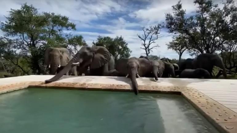 Eλέφαντες πίνουν νερό από πισίνα