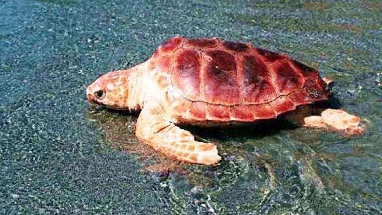 Θεσσαλονίκη: Νεκρή εντοπίστηκε χελώνα καρέτα-καρέτα στην παραλία Ιερισσού