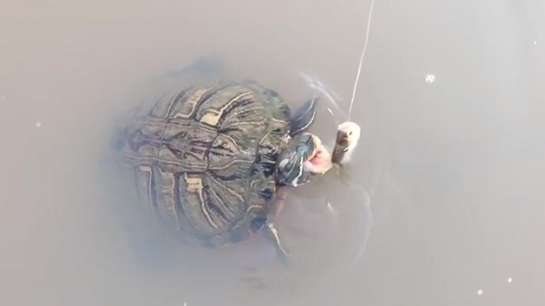Χελώνα εναντίον ψαριού