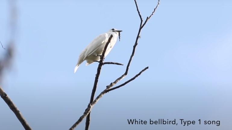 Το πουλί με το πιο δυνατό κελάηδημα στον κόσμο