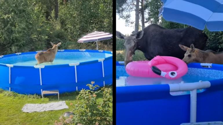 Tάρανδοι δροσίζονται σε πισίνα