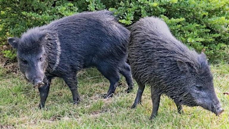 Ακυρώθηκε το κυνήγι αγριογούρουνων σε Εκάλη-Διόνυσο έπειτα από αντιδράσεις