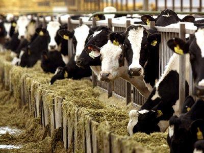 Τα... αέρια αγελάδων προκάλεσαν φωτιά