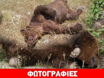 Δύο αρκούδες νεκρές από σφαίρες στην Πρέσπα