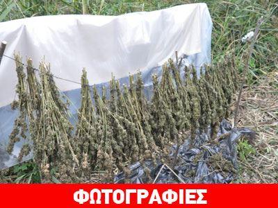 Εντοπίστηκε αυτοσχέδιο αποξηραντήριο κάνναβης στη Θεσσαλονίκη