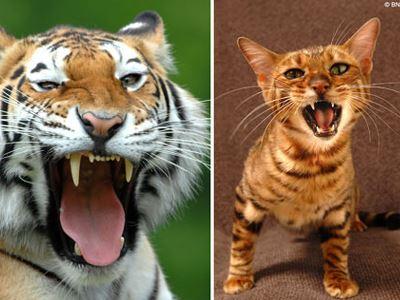 Οι γάτες είναι καλύτεροι κυνηγοί από τις τίγρεις
