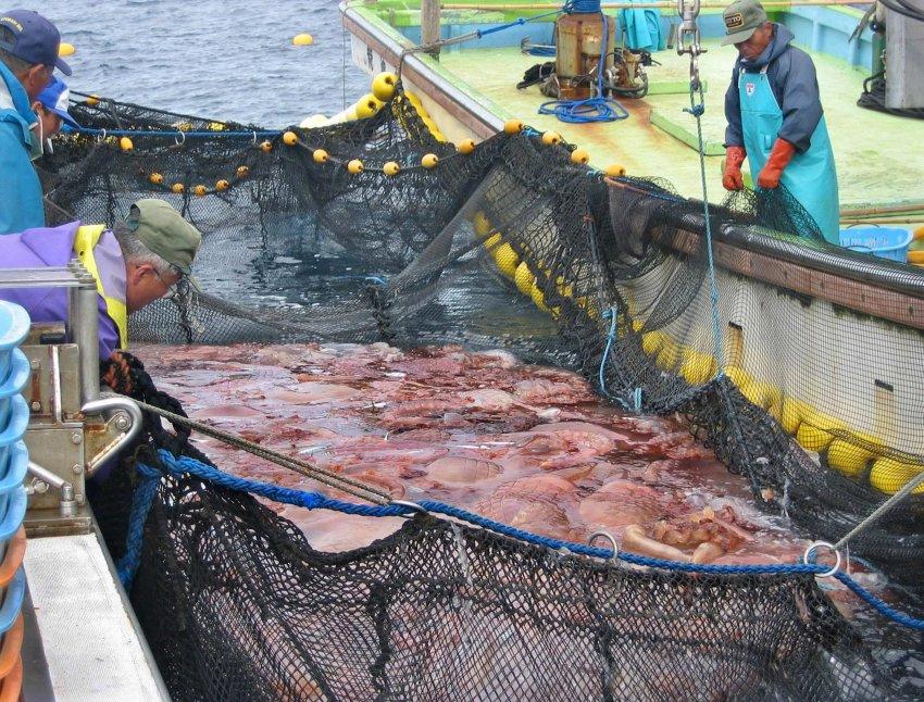 Ιάπωνες ψαράδες με τα δίτυα τους γεμάτα μέδουσες Nomuras