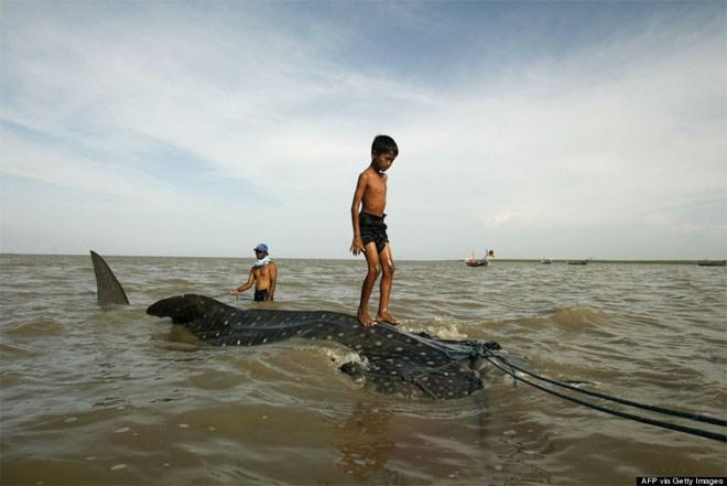 22 Οκτωβρίου. Μία καρχαροειδής φάλαινα ρυμουλκείται στην ακτή της Surabaya στα ανατολικά του νησιού Java (Ινδονησία). Ένα μικρό αγόρι-εξοικειωμένο με τη φύση του νησιού του- βρίσκει την ευκαιρία να δοκιμάσει τις ικανότητες του στο σερφ...