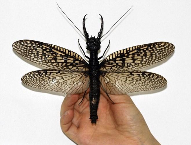 Νέο είδος εντόμου ανακαλύφθηκε -το μεγαλύτερο υδρόβιο έντομο στον κόσμο