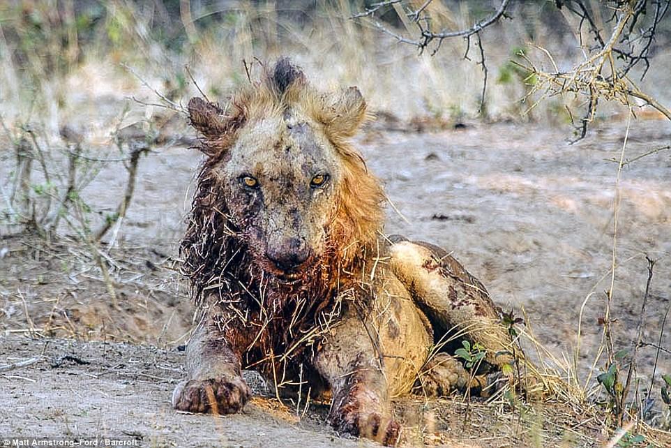 λιοντάρι βουβάλι