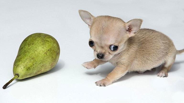 τσιουάουα Σκύλος κουτάβι