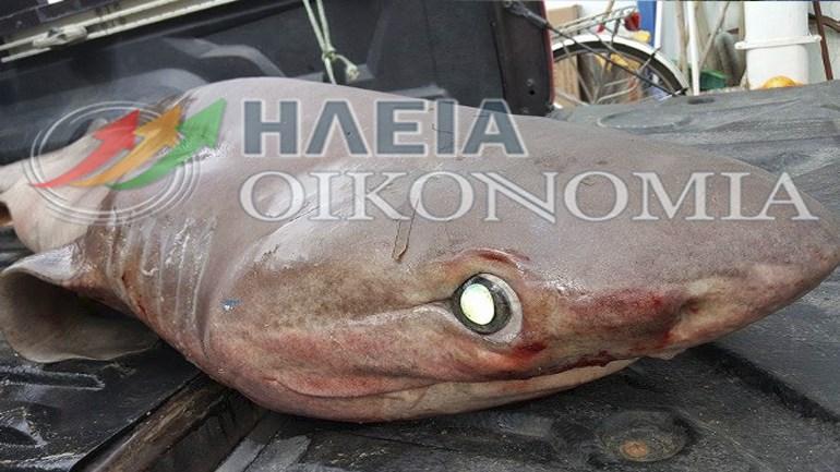 Κατάκολο καρχαρίας